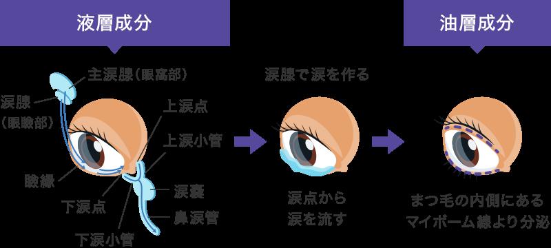 涙腺とマイボーム腺