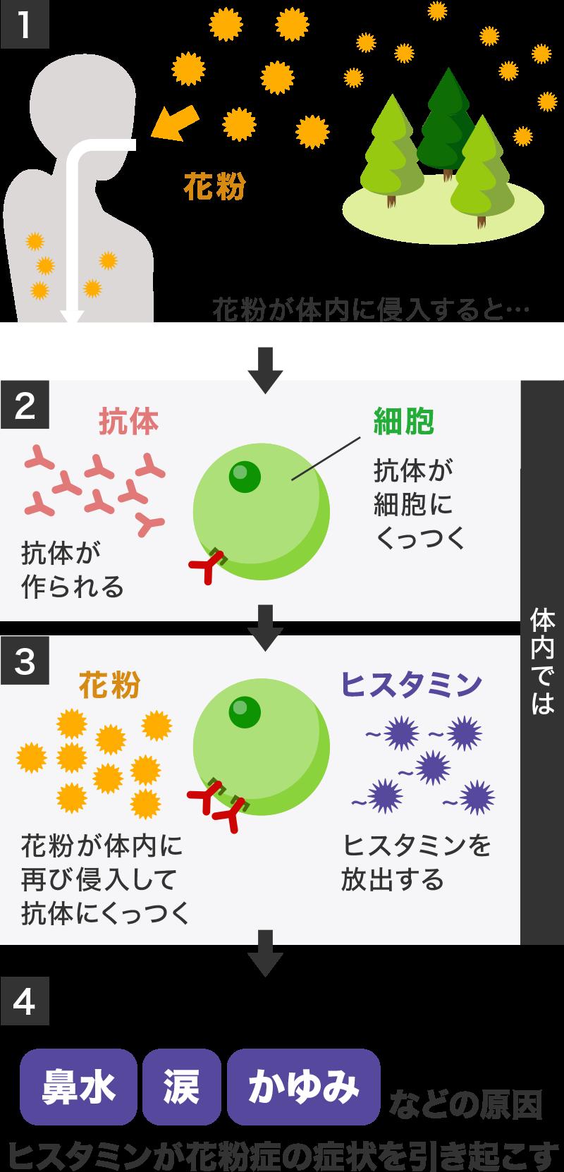 かゆみなどの原因ヒスタミンが花粉症の症状を引き起こす