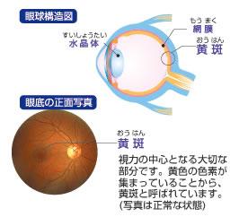 眼球構造図 眼底の正面写真