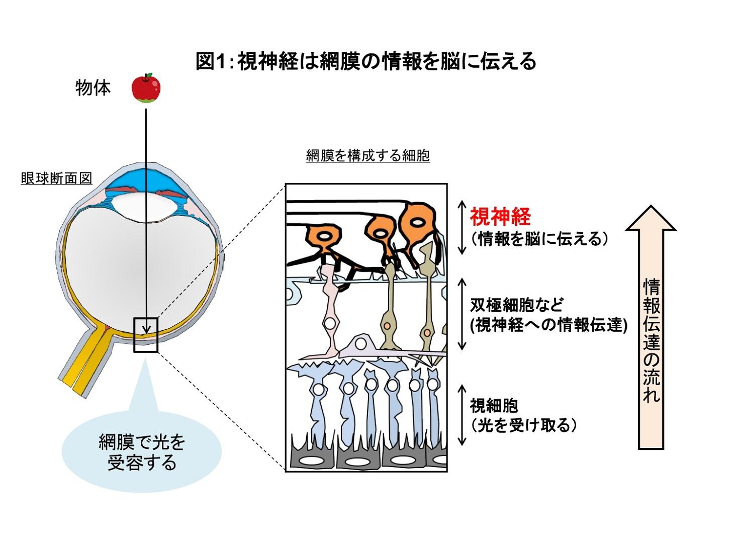 視神経の働きを説明した図