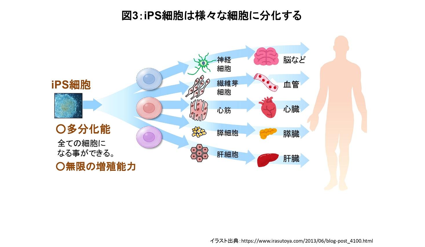 iPS細胞の分化について