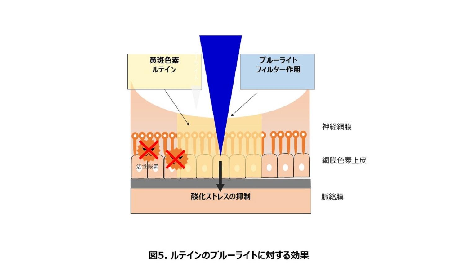 黄斑色素であるルテインは、青色光(ブルーライト)によって発生する酸化ストレスを抑制する働きをもつことを示した図