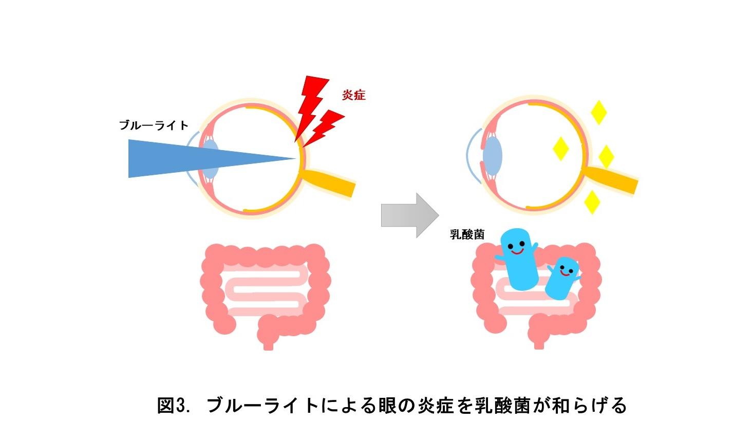 ブルーライトによる眼の炎症を乳酸菌が和らげる