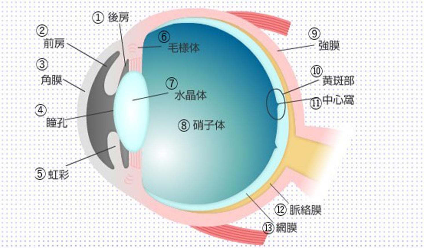 人の目の構造と部位