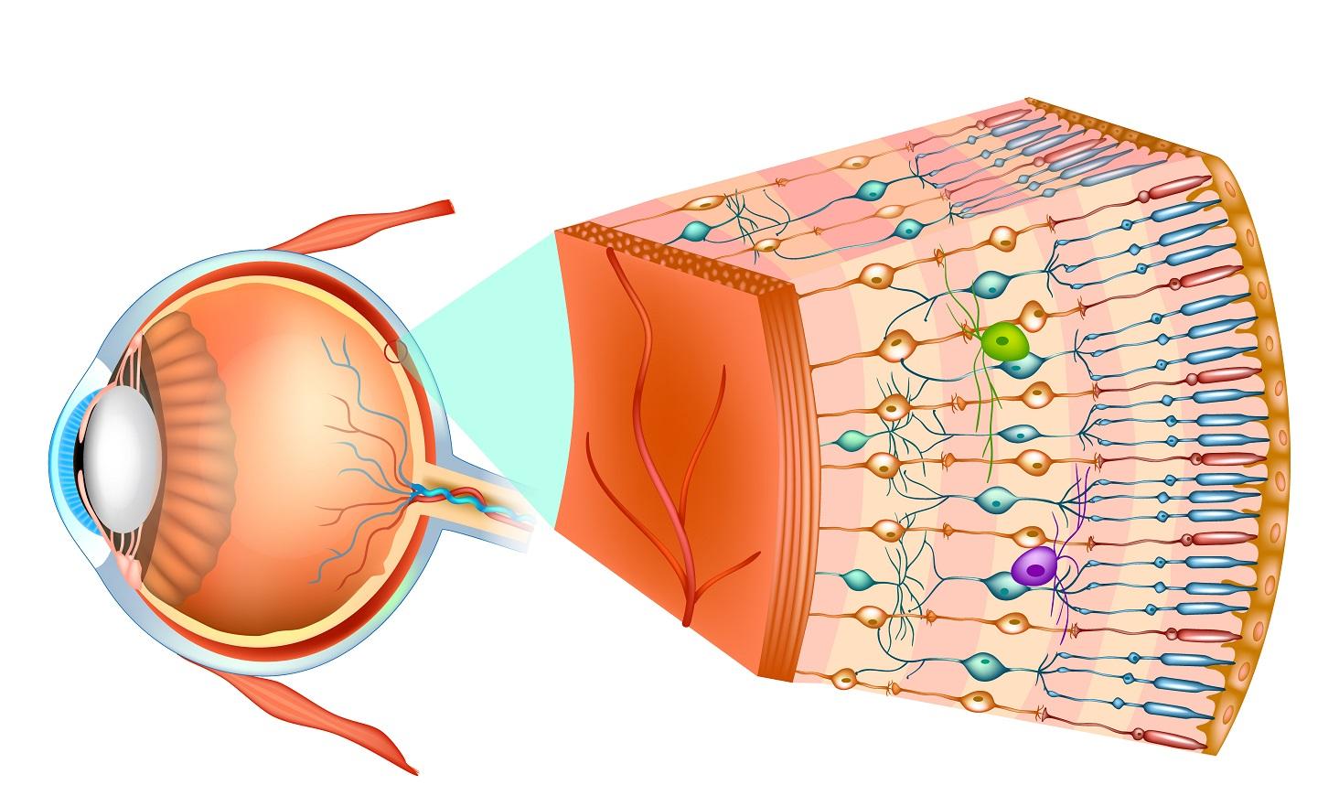 網膜にある視細胞のイラスト