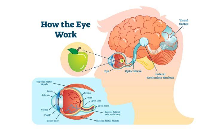 メノコト最新研究紹介  目の機能と脳の機能は関連があるかも?