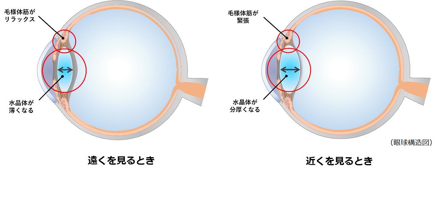 遠くを見るときと近くを見るときの眼球構造図